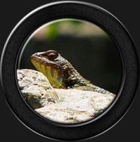Gecko pendule